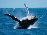 Samaná con ballenas