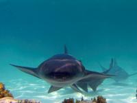 Nado con Tiburones y Mantarrayas